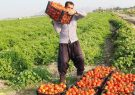 فارس در تولید گوجه فرنگی رتبه اول کشور را دارد