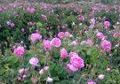 شمیم عطر گل محمدی در گلستانهای داراب