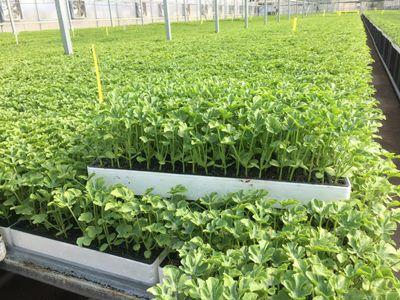 تولید سالانه ۱۲۰ میلیون نشاء در گلخانههای کازرون