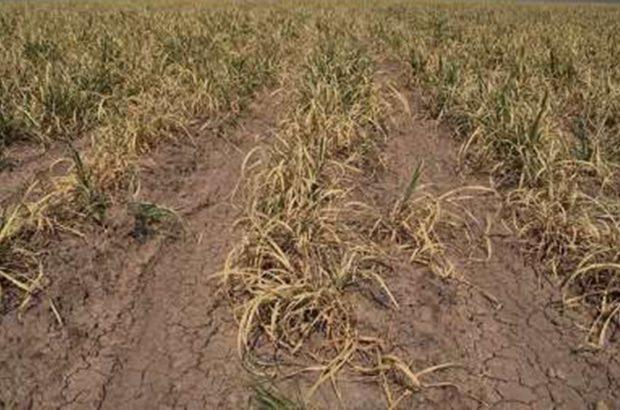 خسارت خشکسالی به ۳۳ هزار هکتار از مزارع مرودشت