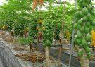 پرورش میوههای استوایی در داراب