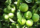 پیش بینی تولید بیش از ۶۰۰ تن لیمو ترش در فسا