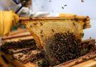 برداشت عسل از زنبورستانهای ارسنجان