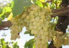برداشت انگور از تاکستانهای بیضا