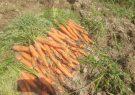 آغازبرداشت هویج از مزارع مرودشت