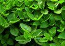 برداشت گیاه دارویی مرزنجوش در فسا