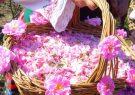 عطر گلاب میمند در بازارهای جهانی